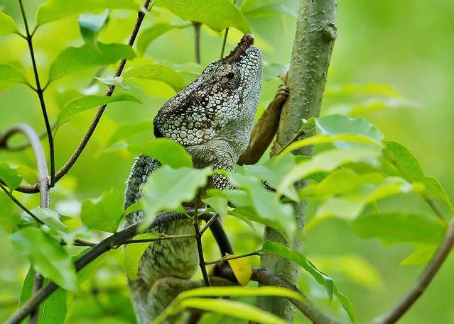 Short-horned Chameleon a/k/a Elephant Eared Chameleon (M) (Calumna brevicorne)