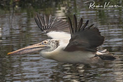 Wildlife at Vedanthangal Bird Sanctuary, India