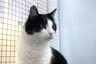 Molly - 7 year old spayed female   by carescatshelter