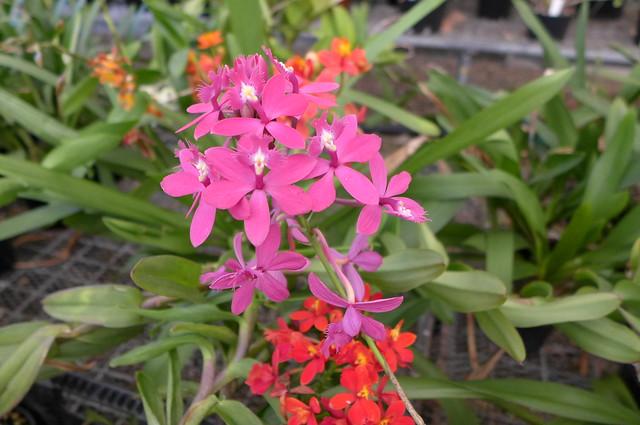 x Epicattleya at Robertsons Orchid Nursery