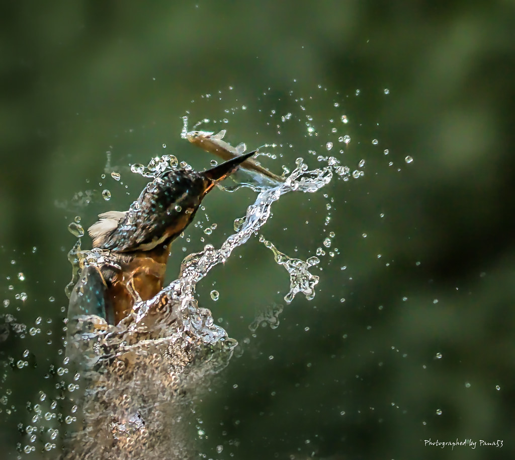 Eisvogel - Alcedo atthis - Auftauchen