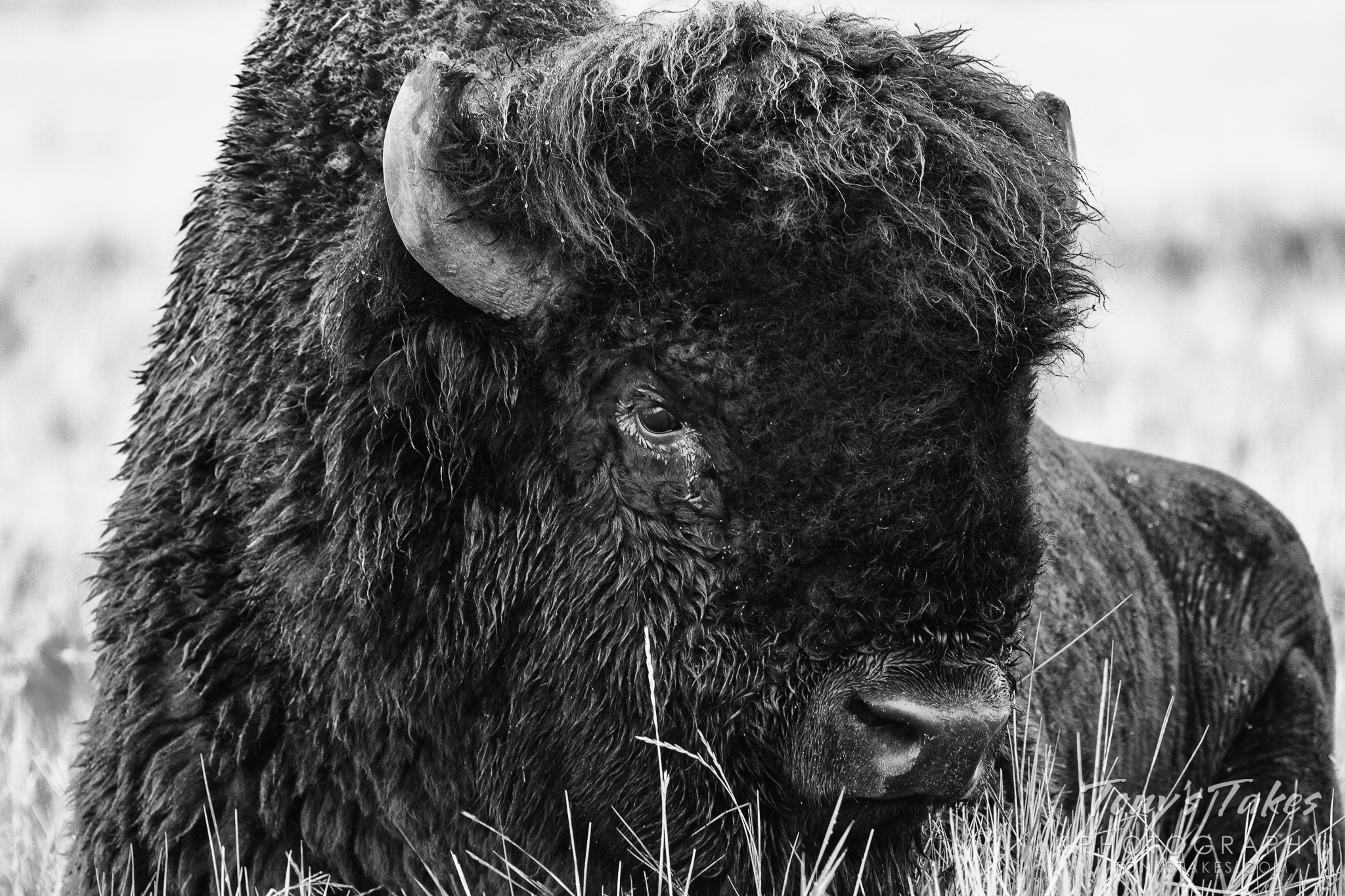 The national mammal of the United States in black and white for National Bison Day