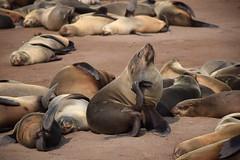 Cape Fur Seals (Arctocephalus pusillus), Cape Cross, Erongo Region, Namibia
