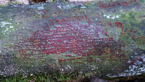 Coral spot fungus: red