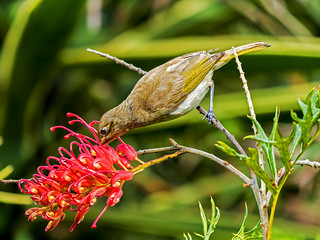 Brown Honeyeater (5) | by bidkev1 and son (see profile)