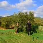 Comença la collita de les olives, Torrelles de Foix, Alt Penedès.