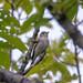 コサメビタキ(Asian brown flycatcher)