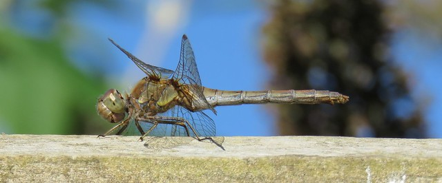 Common Darter, female