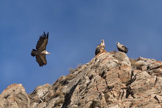 Grifoni - Griffon vultures