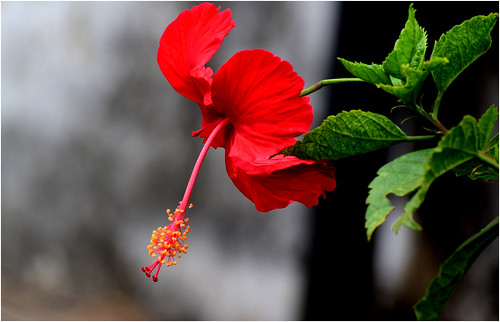 ngc hibiscus red d5300 nature flower fa