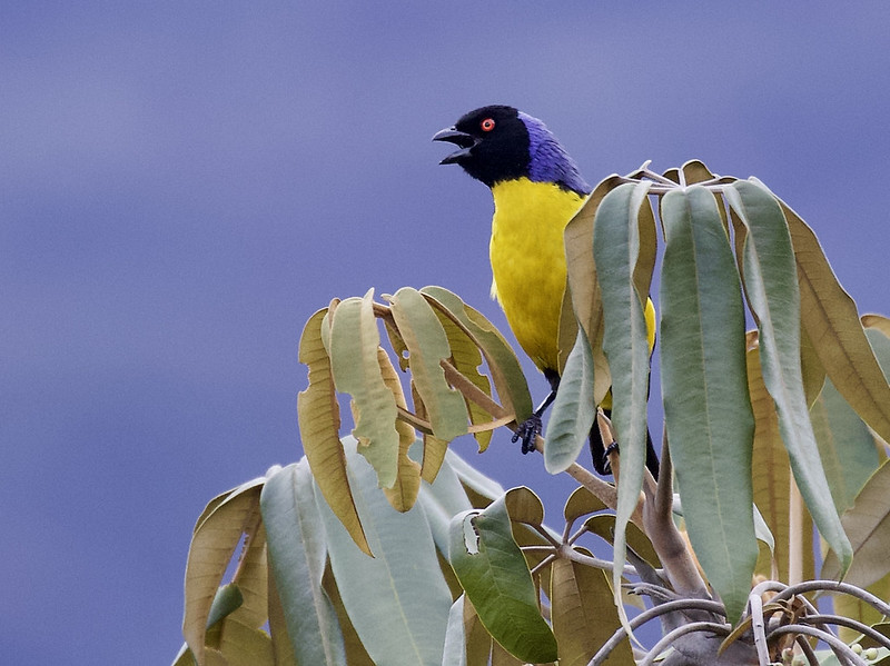 Hooded Mountain-Tanager, Buthraupis montana 199A5687