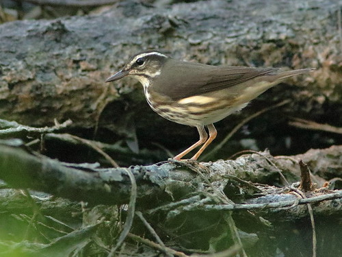 Louisiana Waterthrush 02-20181005