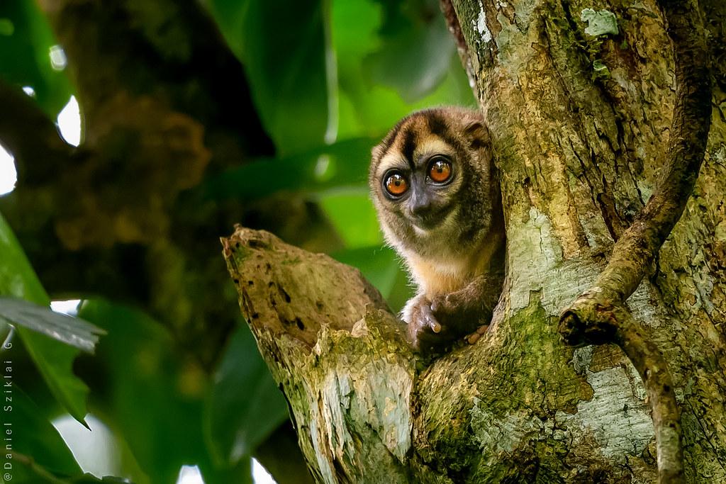 Owl Monkey. Mono Nocturno. Aotus trivirgatus