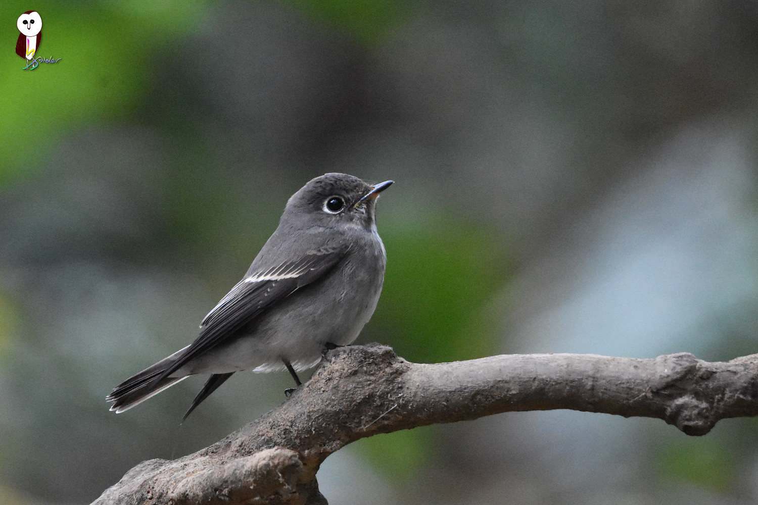 Dark-sided_Flycatcher_5069