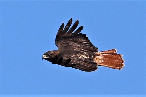 bird sonomacounty california bayhillroad buteojamaicensis redtailedhawk