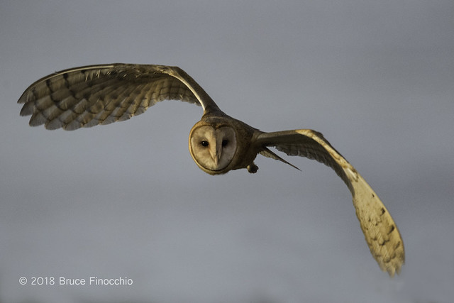 Barn Owl  In Flight With Wings Out