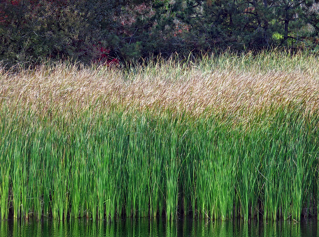 Soft reeds on the pond