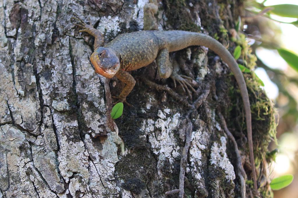 Tropidurus torquatus - Parque Nacional Iguazú/Misiones/Argentina_20171109_238