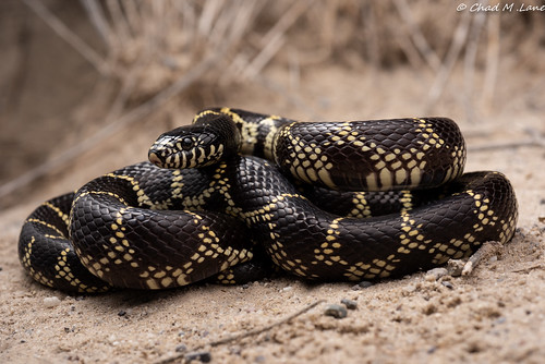 Common Kingsnake (Lampropeltis getula) Intergrade. | by Chad M. Lane