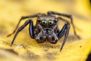 Jumping spider (cf. Parabathippus sp.) - DSC_4538