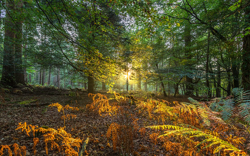 landscape newforest sun sunrise sunburst tree bracken