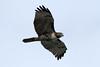 Buteo jamaicencis calurus (Red-tailed Hawk) - Swinomish WA by Nick Dean1