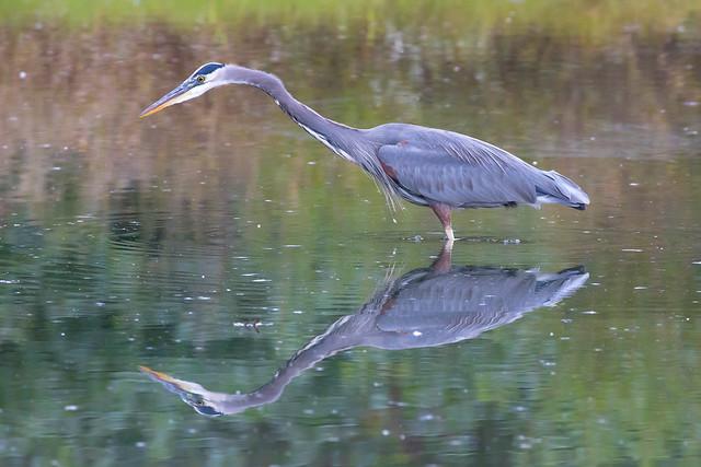 Great Blue Heron Symetry-3