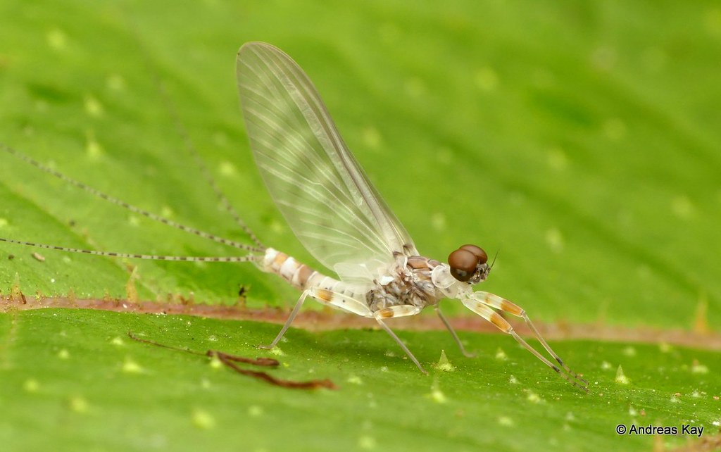 Small Minnow Mayfly, Baetodes sp.? Baetidae