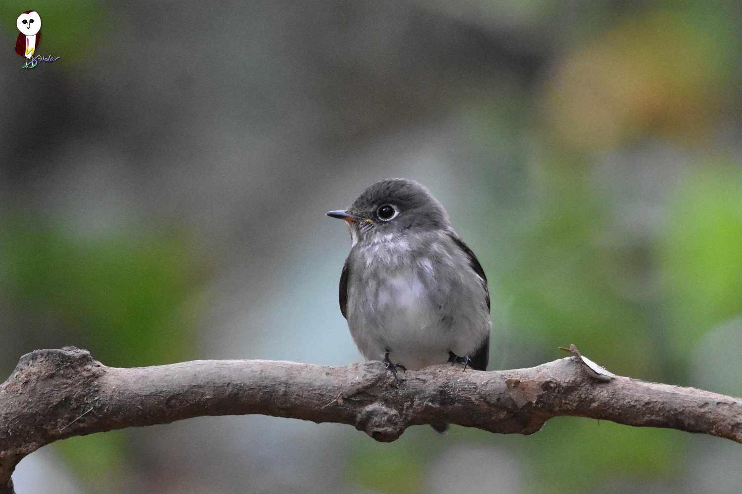 Dark-sided_Flycatcher_5032