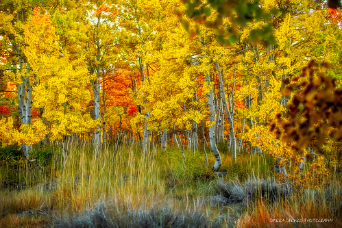 Fall Aspen {EXPLORED} | by Sierra Springs Photography