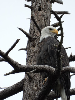 october 3 2018 15:37 - Eagle in The Babysitting Tree | by boonibarb