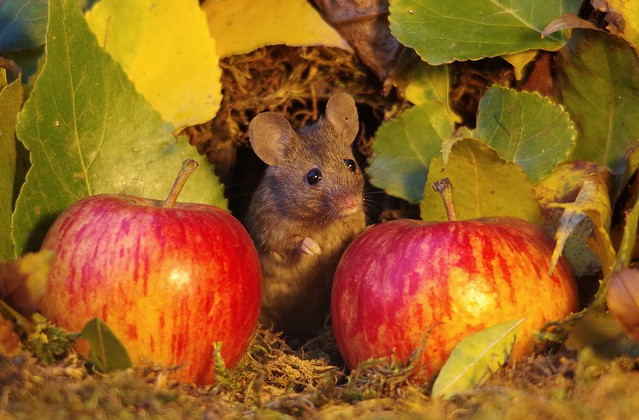 wild mouse with Autumn apples  (6)