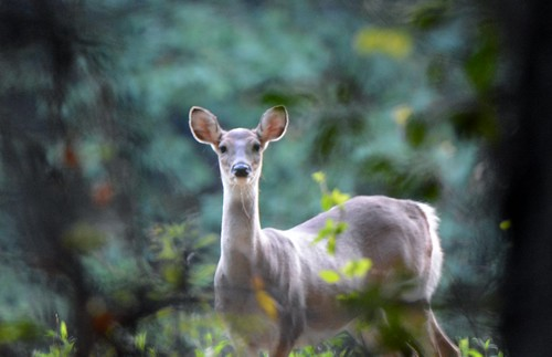 Photo of deer staring down photographer