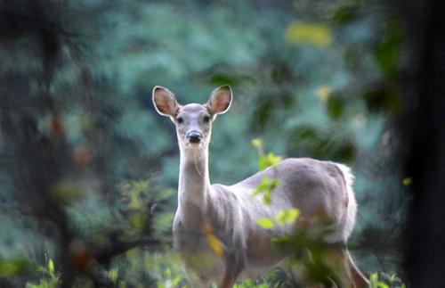 Photo of deer staring down photographer