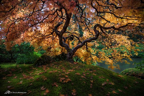 tree portland japanese japanesemaple maple color oreange fall autumn tripod landscape