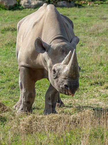 Rhino | by jakeblu