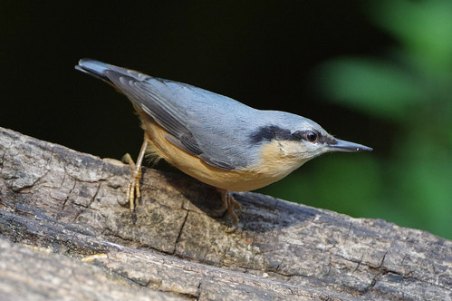lackfordlakes wild wildlife nature suffolk bird nuthatch sittaeuropaea