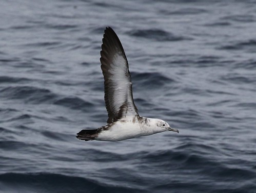 Black-vented Shearwater | by tombenson76