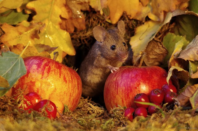 Autumn mouse  with apples  (7)