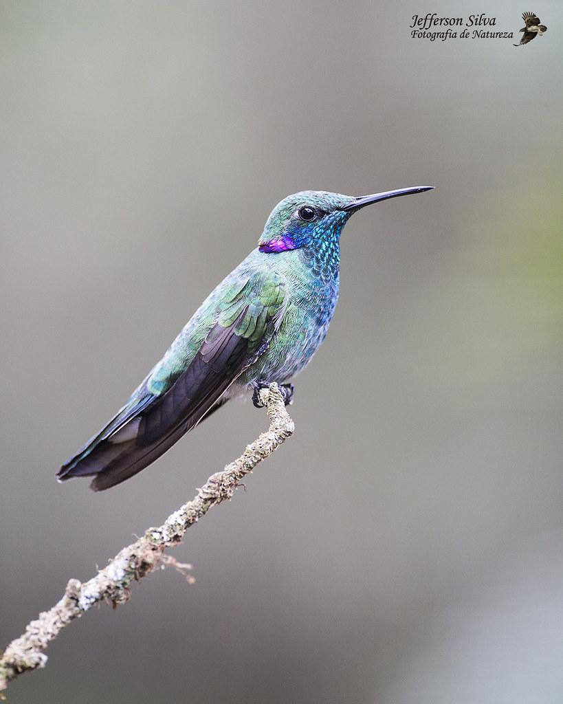 beija-flor-de-orelha-violeta - White-vented Violetear / Colibri serrirostris - Monte Alegre do Sul - 06-10-18
