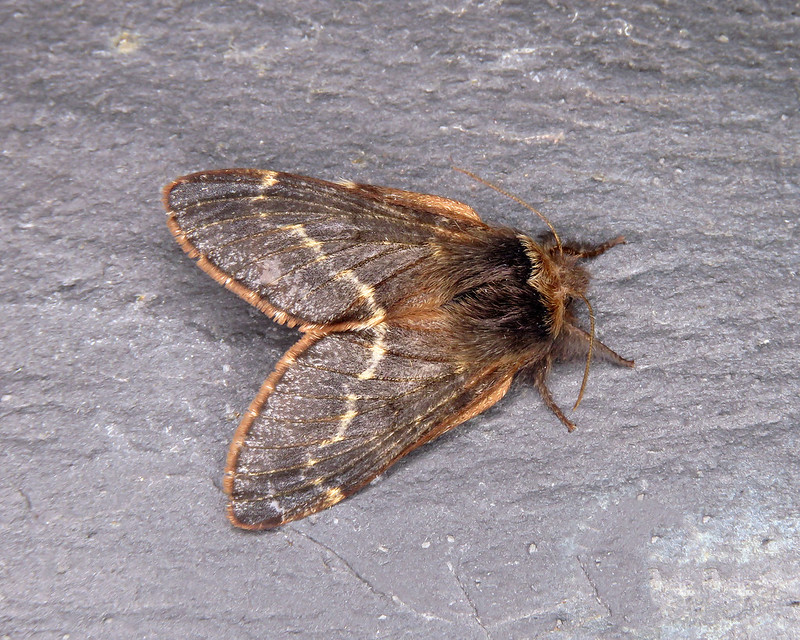 66.001 December Moth - Poecilocampa populi