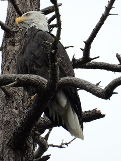 october 3 2018 15:39 - Eagle in The Babysitting Tree | by boonibarb