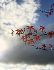 Autumn: Last leaves of Sweetgum