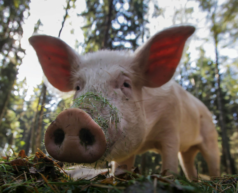 Just like us, pigs can live long, full lives