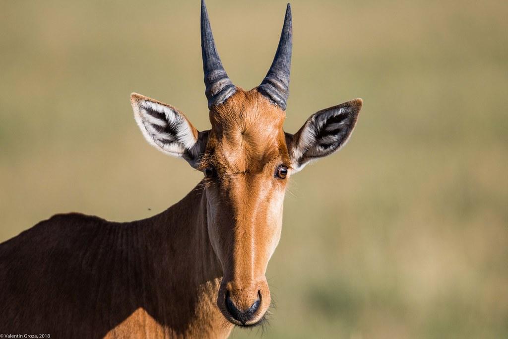 Maasai Mara_13sep18_25_topi