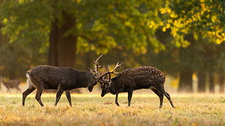 Sika Stags Fighting | by Rob'81