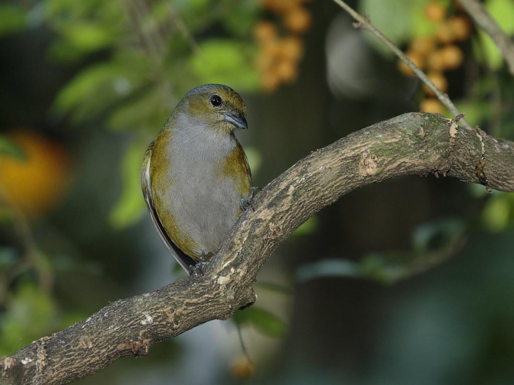 Ferro-velho (female) / Chestnut-bellied Euphonia - Euphonia pectoralis (Latham, 1801)