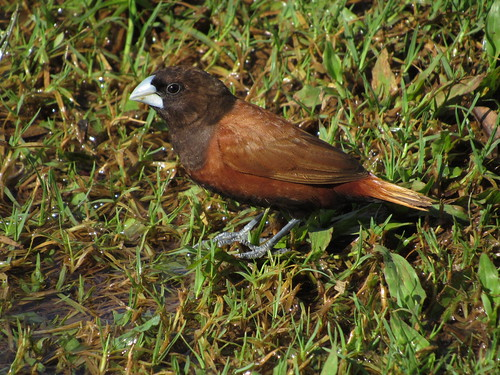 Chestnut Munia 10/25/18 | by redcoot22