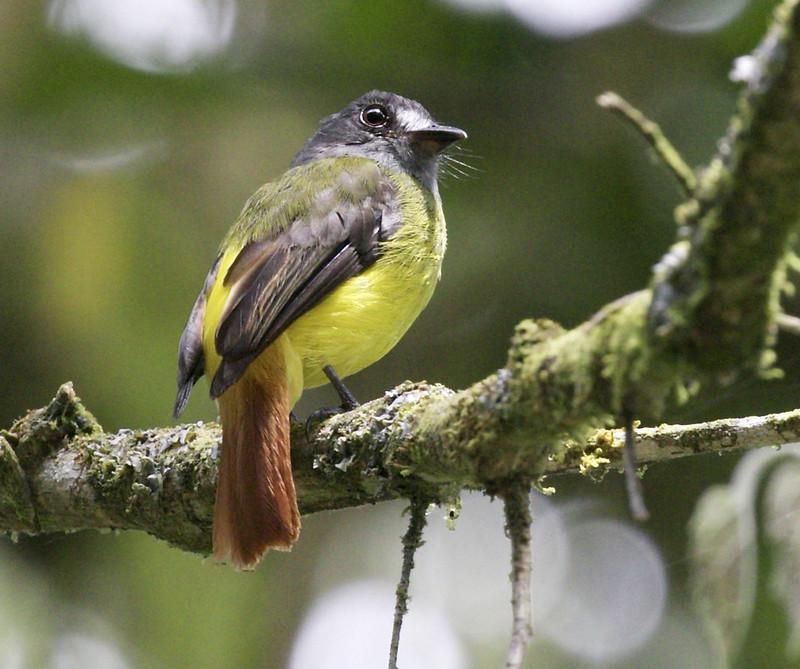 Ornate Flycatcher, Myiotriccus ornatus 199A7549