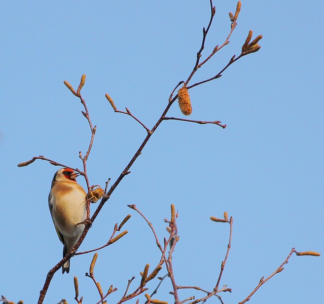 Goldfinch Atop The Silver Birch